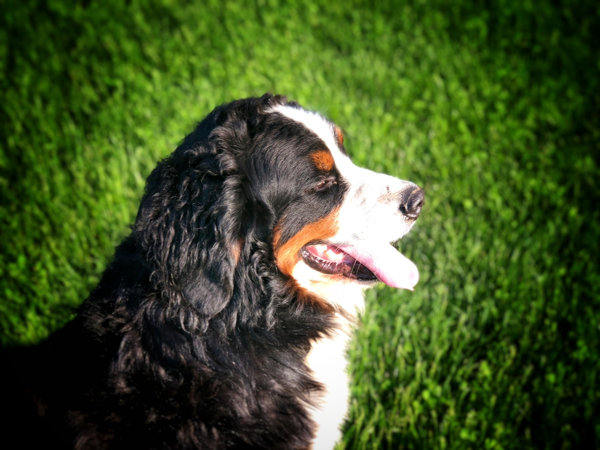 Bernese Mountain Dog Breed Photo