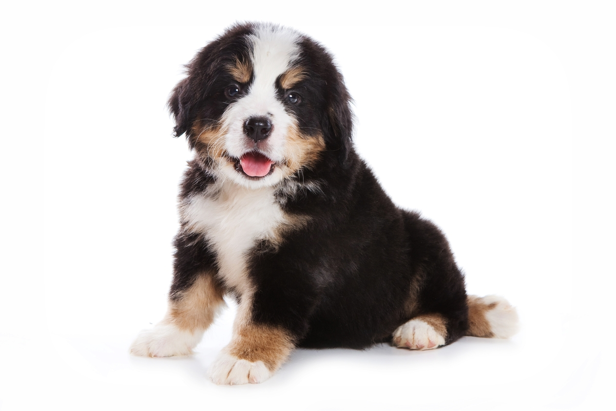 Mini Bernedoodle Breed Photo