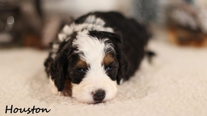 Miniature Bernedoodle Puppies