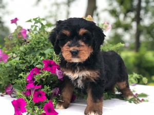 Bernedoodle Puppies Sold At Country Haven Puppies